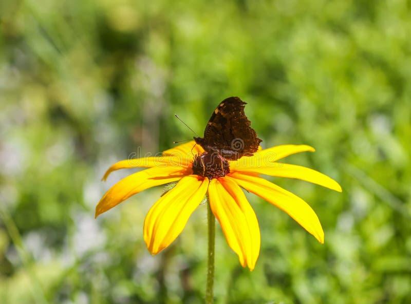 Rudbeckia Hirta oder schwarz-?ugige Susan-Anlage im Sommerpark Brown Betty, gloriosa G?nsebl?mchen, goldenes Jerusalem, englische lizenzfreie stockfotos