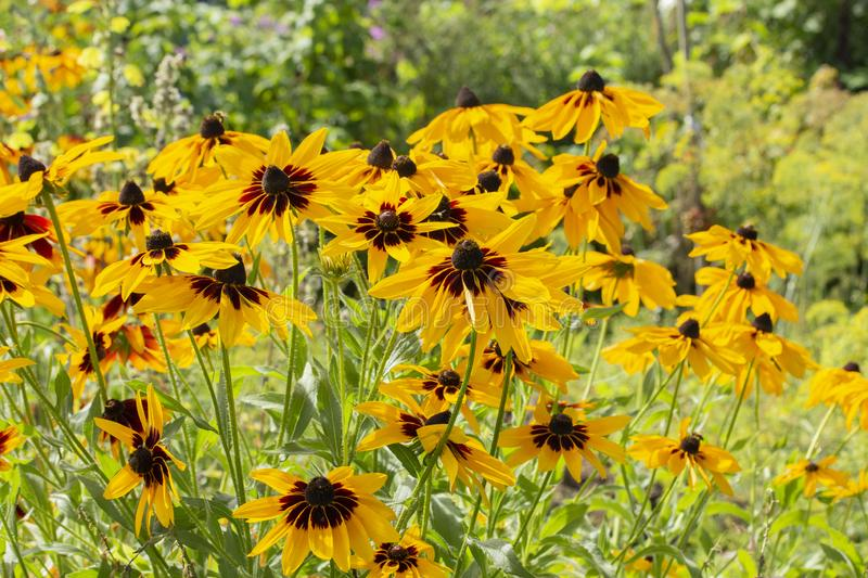 Rudbeckia hirta two-tone flowers yellow brown black black-eyed Susan. Beautiful garden flowers yellow high aster royalty free stock photo