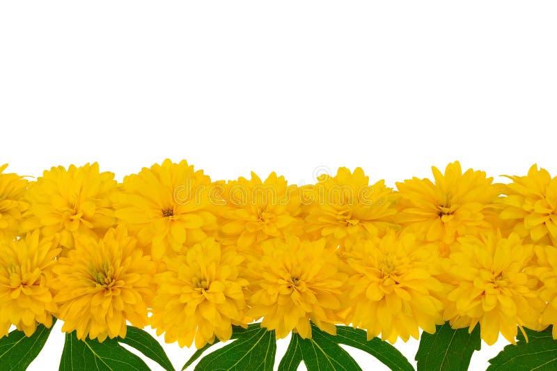 Rudbeckia laciniata Blumenköpfe in der Reihe stockbilder