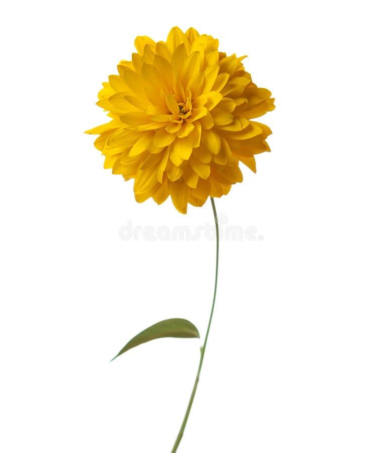 Rudbeckia laciniata Hortensia zdjęcie royalty free