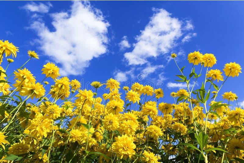 Rudbeckia laciniata przeciw niebieskiemu niebu zdjęcia royalty free