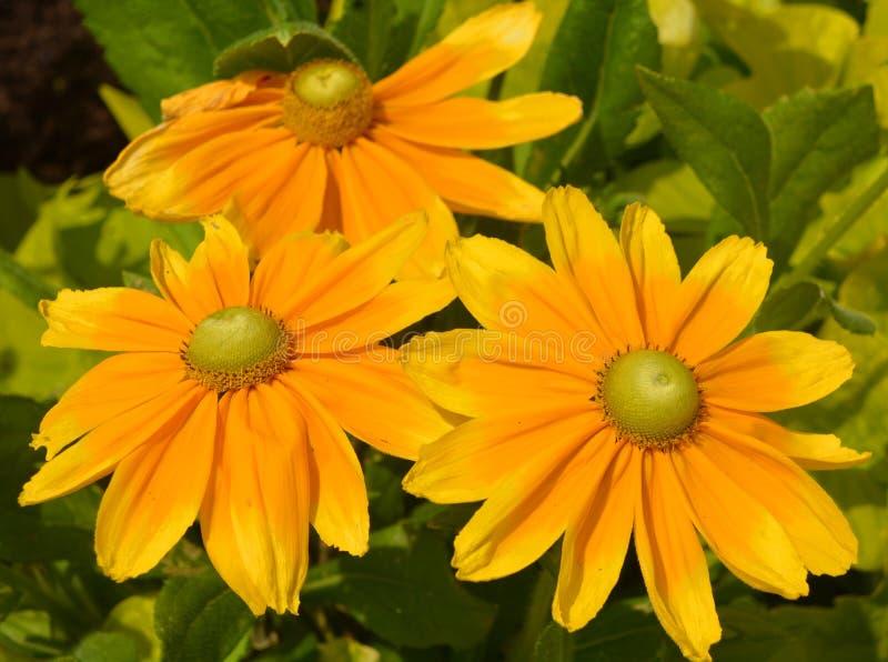 Rudbeckia Les espèces s'appellent généralement les coneflowers photo stock