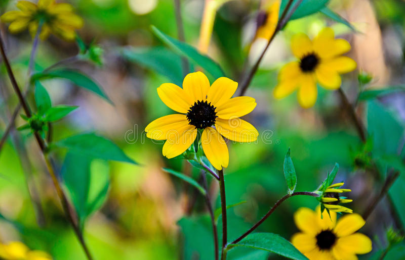 Rudbeckia triloba yellow flowers (browneyed Susan, brown-eyed Susan, thin-leaved coneflower, three-leaved coneflower). Rudbeckia triloba yellow flowers ( royalty free stock images