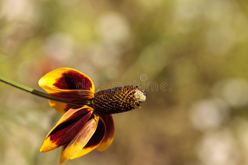 Rudbeckia yellow and red flower, Rudbeckia maxima, with a cone s royalty free stock images