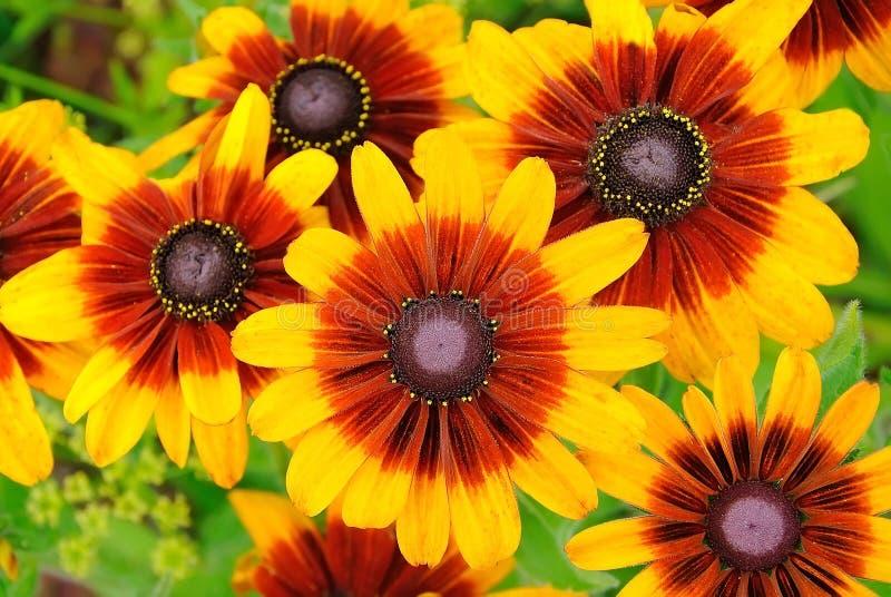 Download Rudbeckiablumen stockbild. Bild von empfindlich, hintergrund - 27728949