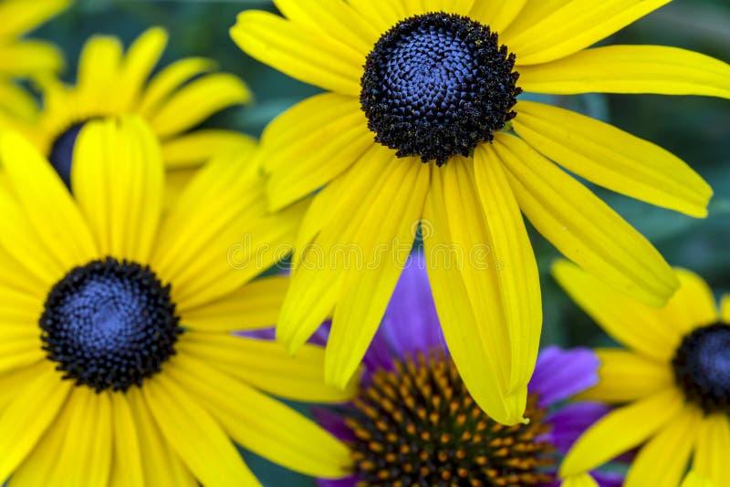 Rudbeckiahirta, svart-synade Susan royaltyfri fotografi