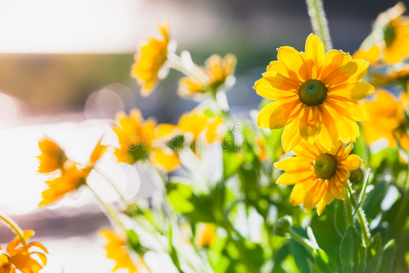 Rudbeckianitida, gula blommor, closeup royaltyfri foto