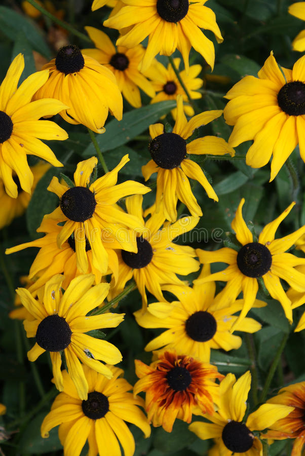 Download Rudbeckias stock photo. Image of floral, detail, macro - 15933158