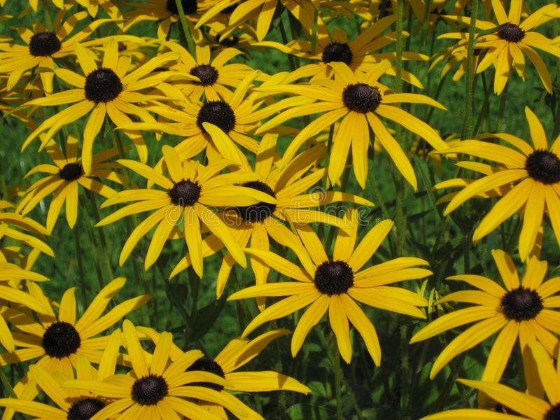 Rudbekia kwiatów pole, kwitnie, lato czas, kwiecisty tło obrazy stock