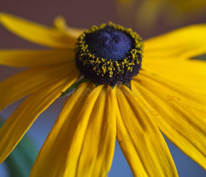 Rudbekie jaune et milieu noir photos stock