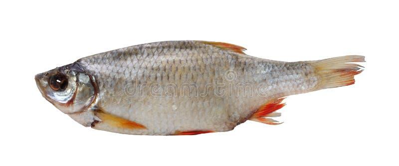 rudd干鱼 库存图片