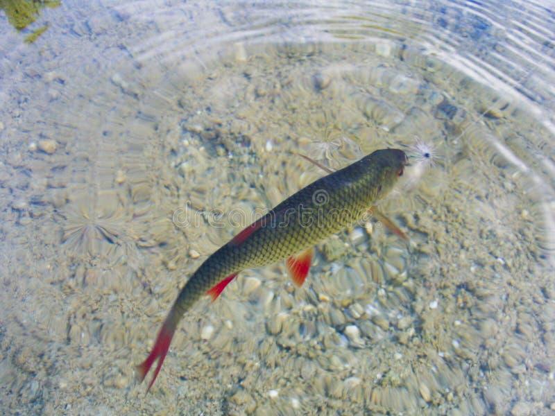 Download Rudd stock photo. Image of macro, flyfishing, nature, fish - 8860880