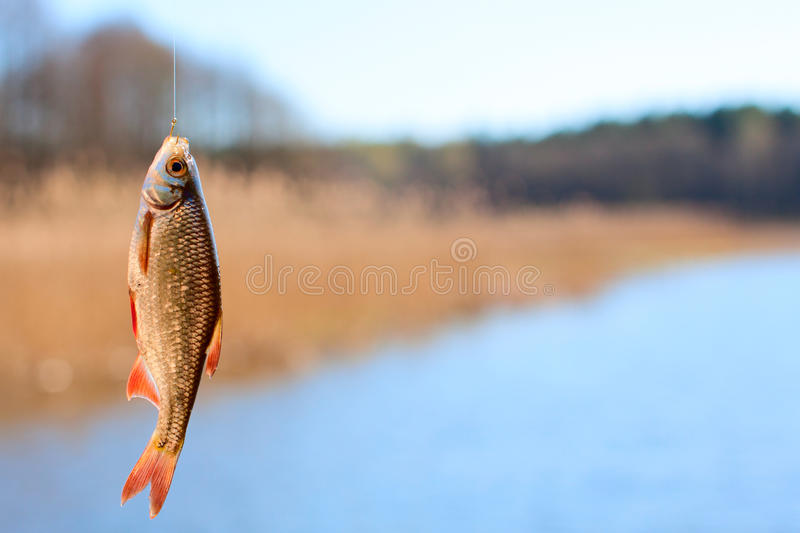 Download Rudd caught on hook stock photo. Image of fishing, trouble - 24549998
