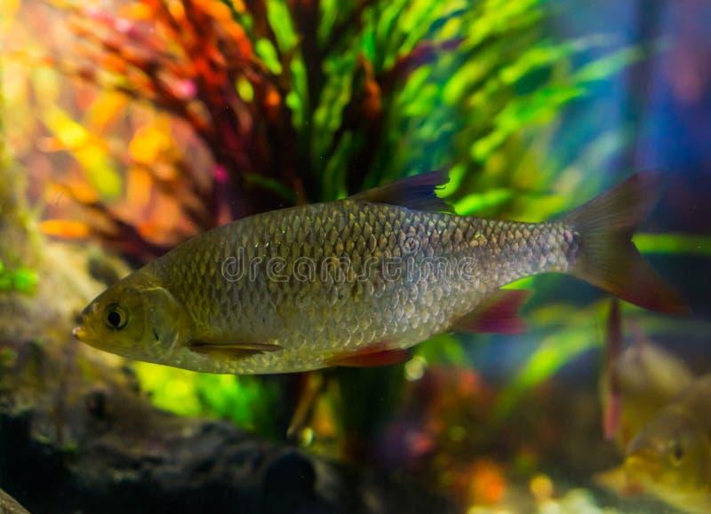 Rudd común, pescado brillante de plata, un pescado extensamente separado en los mares de Eurasia foto de archivo libre de regalías