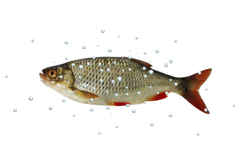 Rudd de los pescados aislado imagenes de archivo