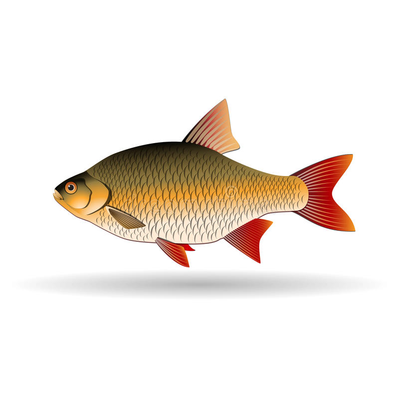Rudd. Freshwater fish of the carp family. Realistic illustration. Vector Image. Rudd. Freshwater fish of carp family. Realistic illustration. Vector Image stock illustration
