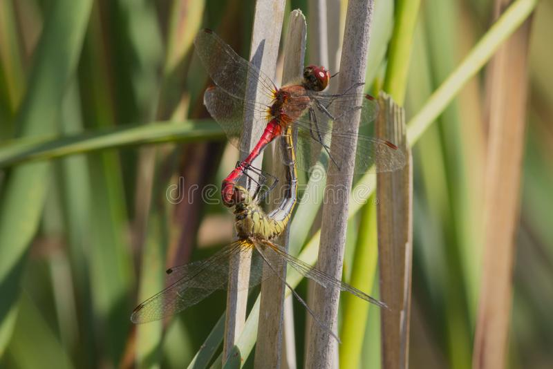 Ruddy darter dragonflies mating on a reed stem. stock image