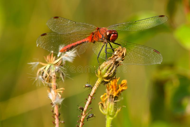 Ruddy Darter Dragonfly with aphids sitting on dry flower royalty free stock images