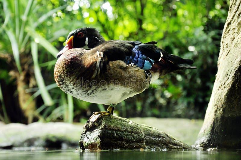 Ruddy duck royalty free stock photos