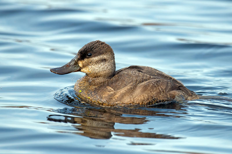 Download Ruddy Duck stock image. Image of jamaicensis, oxyura - 34731409