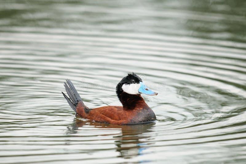 Ruddy Duck (jamaicensis do Oxyura) imagem de stock