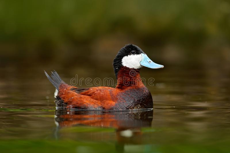 Ruddy Duck, jamaicensis do Oxyura, com verde bonito e vermelho coloriu a superfície da água Homem do pato marrom com conta azul A fotos de stock royalty free