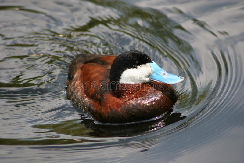 Ruddy Duck masculino fotos de stock