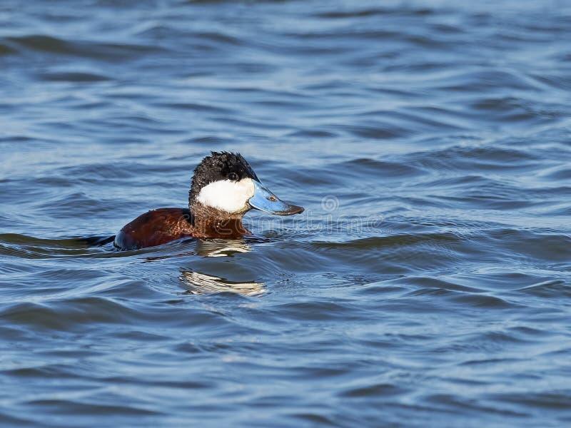 Ruddy Duck masculino foto de stock