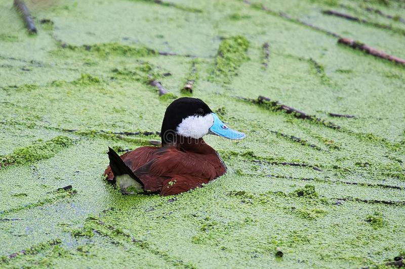 Ruddy Duck masculino nada em algas verdes fotografia de stock
