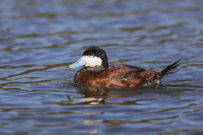 Ruddy Duck masculino - San Diego, Califórnia imagem de stock