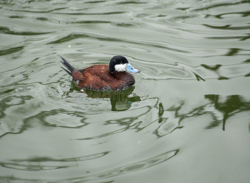 Ruddy Duck nada em uma lagoa fotografia de stock