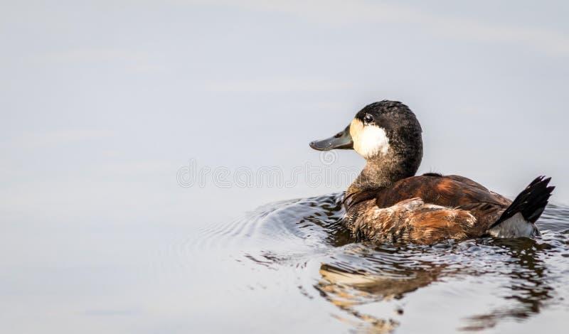 Ruddy Duck Oxyura-het jamaicensismannetje zwemt in kalm weerspiegelend spiegel-als water op een dalingsmiddag royalty-vrije stock afbeeldingen