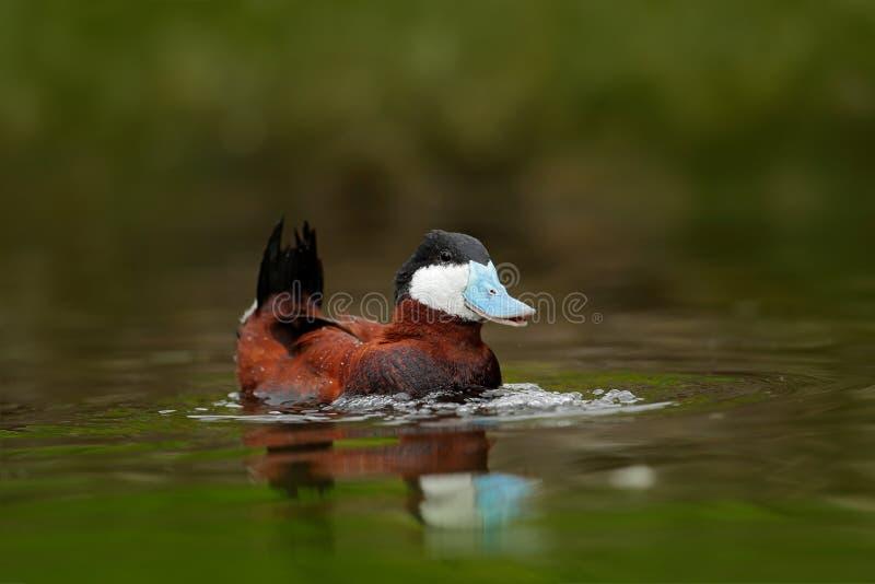 Ruddy Duck Oxyurajamaicensis, med härlig gräsplan och röd färgad vattenyttersida Man av den bruna anden med blåtträkningen Djurli royaltyfri fotografi
