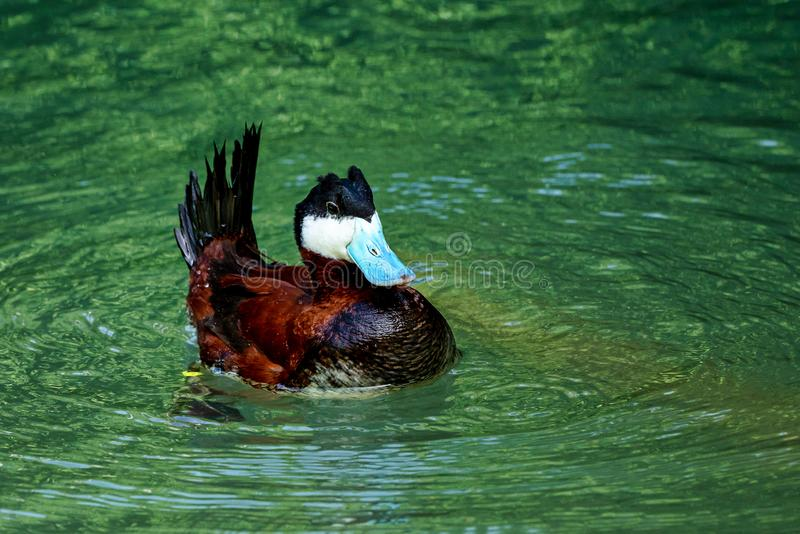 Ruddy Duck Oxyurajamaicensis som simmar p? vattenyttersida royaltyfria bilder