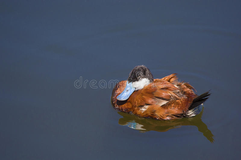 Ruddy duck resting in water. Ruddy duck (Oxyura jamaicensis), with its wonderful blue beak, resting in water royalty free stock photography