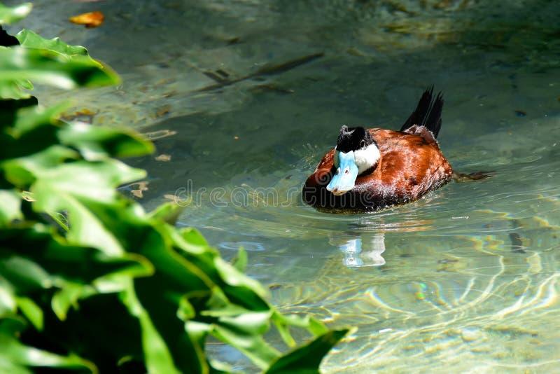 Ruddy Duck-Schwimmen in einem Teich stockfotos