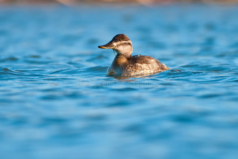 Ruddy Duck. Swimming in the water royalty free stock photos