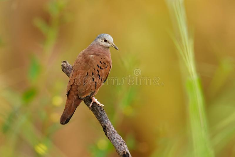 Ruddy Ground-dove - Columbina talpacoti, small New World tropical dove, resident breeder from Mexico south to Peru, Brazil and. Paraguay, Argentina, Trinidad royalty free stock images
