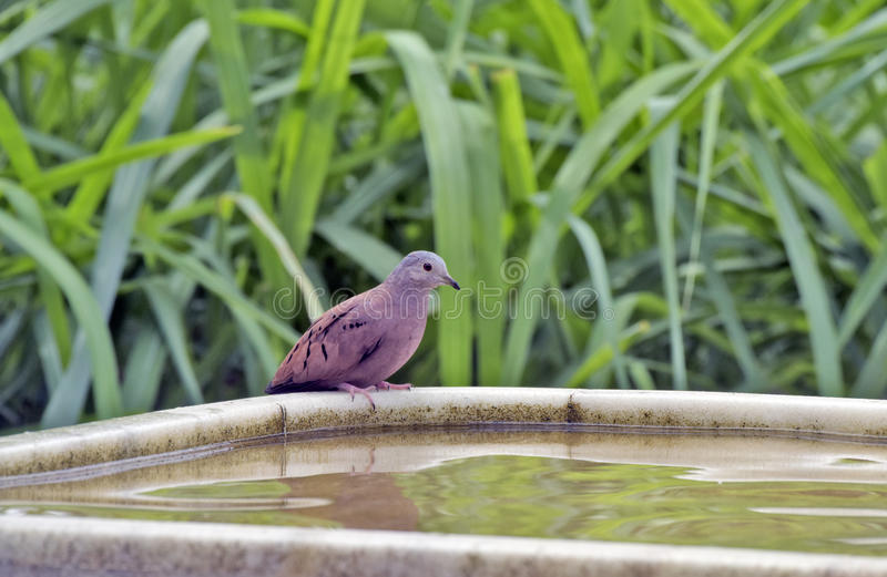 Ruddy ground dove drinking water from the fountain stock photo