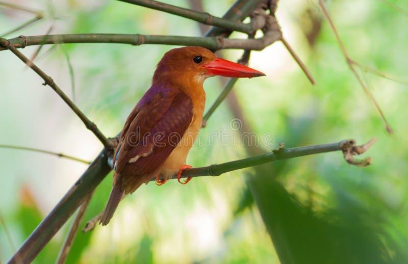 Ruddy kingfisher bird stand on tree stick stock photography