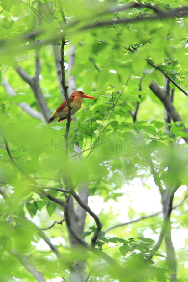 Ruddy Kingfisher royalty free stock images