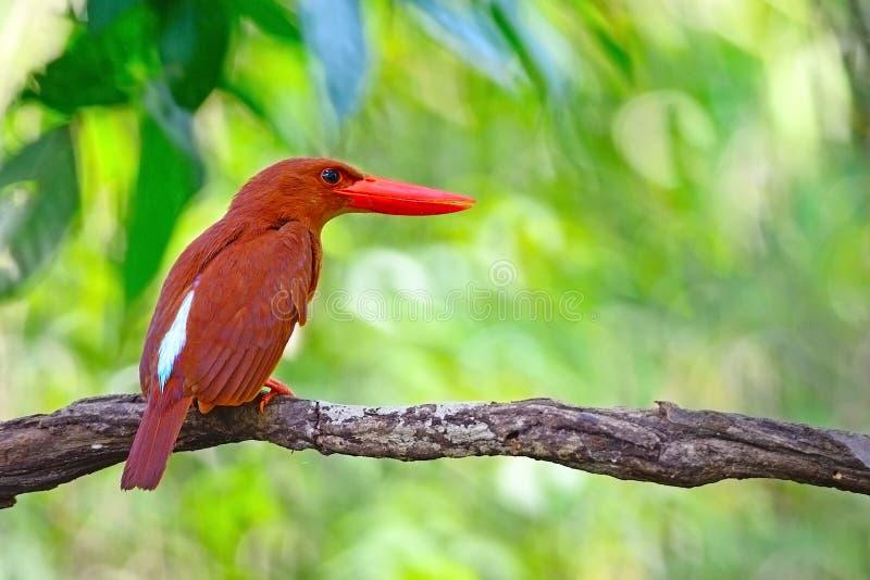 Ruddy Kingfisher masculino fotografia de stock royalty free