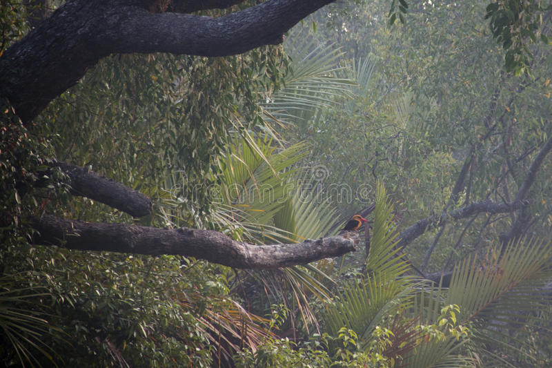 Ruddy Kingfisher in Sundarbans national park in Bangladesh royalty free stock image
