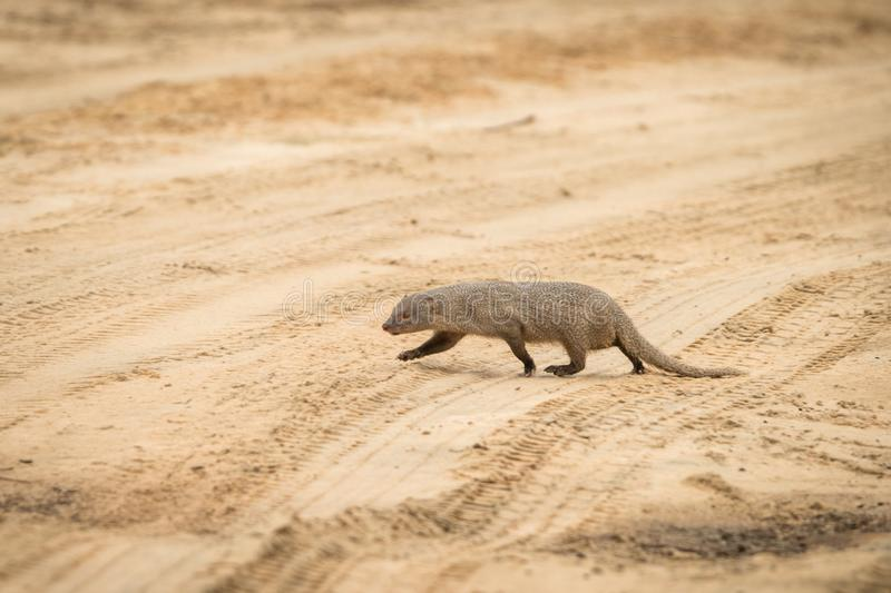 Ruddy mongoose Herpestes smithii  on the road in Yala National Park, Sri Lanka, Asia. Beautiful wildlife scene from nature royalty free stock images