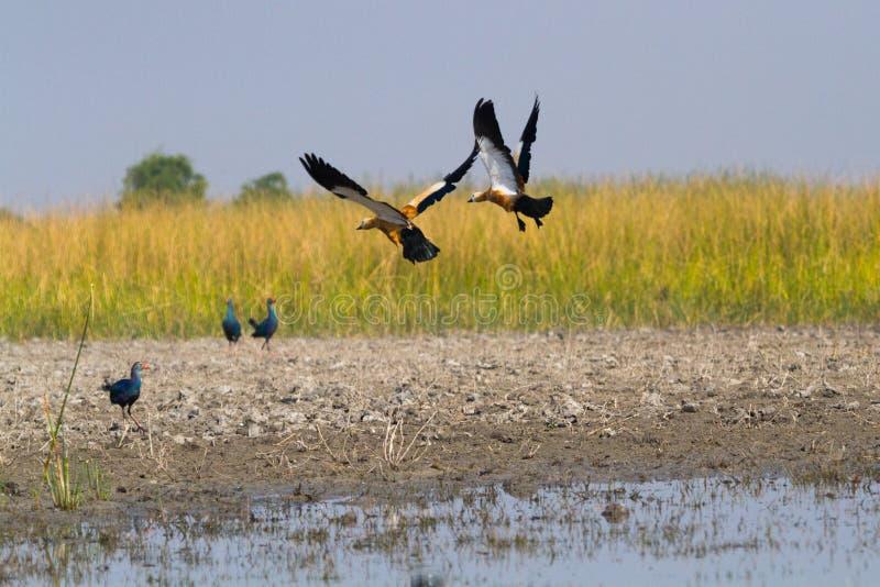 Ruddy Shel ducks and Purple Moorhens royalty free stock photography