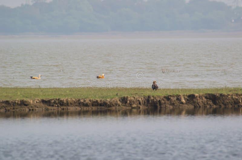 Ruddy shelduck Brahminy duck Surkhab. Tadorna ferruginea floating over water and a Black Kite Milvus migrans seen on the bank of wetland royalty free stock image