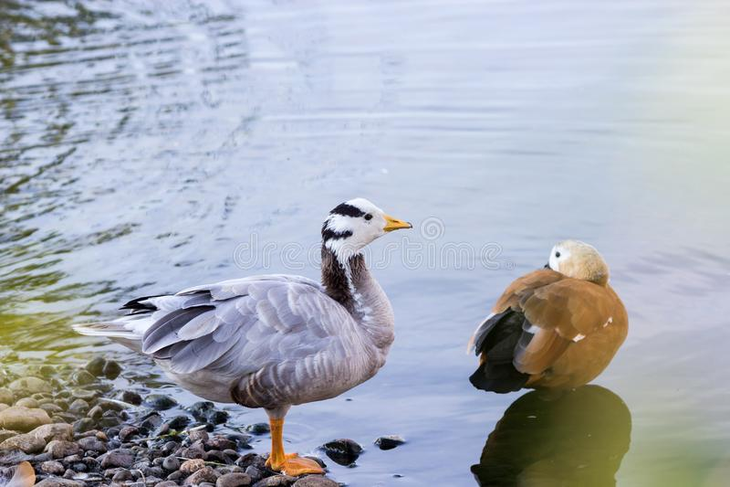 Ruddy Shelduck, connu sous le nom de canard de Brahminy, est en parc photo stock