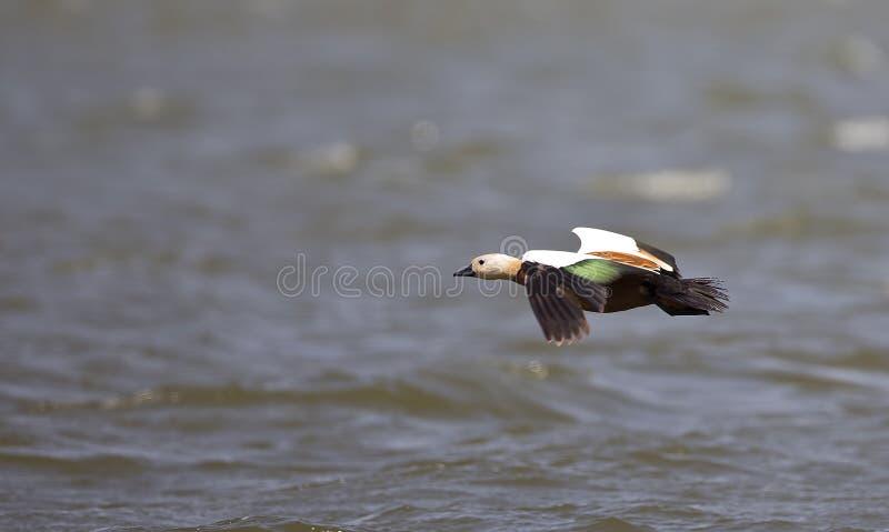 Ruddy Shelduck im Flug stockfotografie