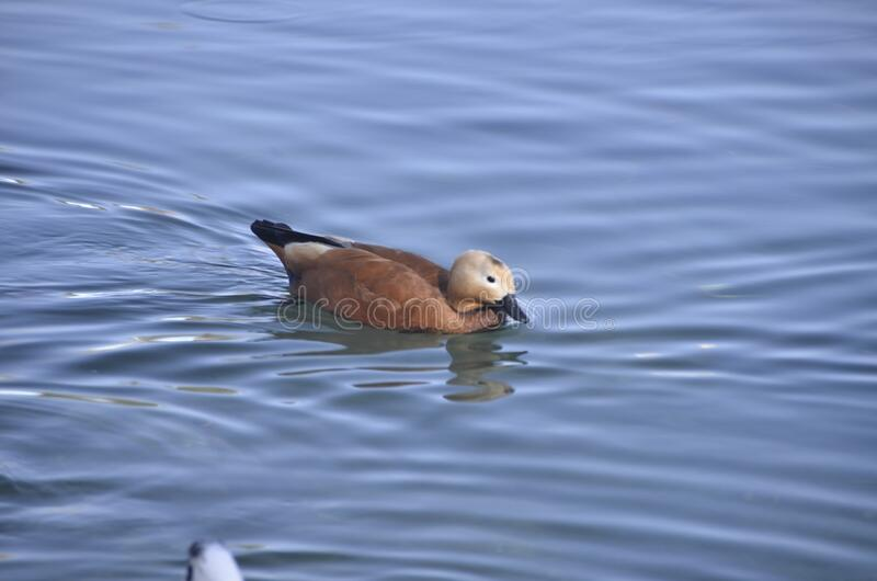 Only ruddy shelduck. The ruddy shelduck mostly inhabits inland water-bodies such as lakes, reservoirs and rivers. The male and female form a lasting pair bond royalty free stock images