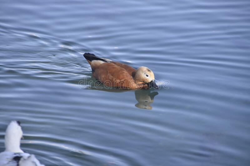 Only ruddy shelduck. The ruddy shelduck mostly inhabits inland water-bodies such as lakes, reservoirs and rivers. The male and female form a lasting pair bond stock photos